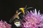 Gipsy Cuckoo-bee (Bombus bohemicus)